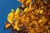 Leaves of a ginkgo tree in Autumn, Lat. Gingko biloba, indian summer, Pullach im Isartal, south of Munich, Upper Bavaria, Bavaria, Germany, Europe