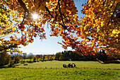 View from Ilkahoehe across a green meadows to the alps, tractor, leaves of beech trees, Autumn, indian summer, near Tutzing, Starnberg five lakes region, Starnberg, Bavarian alpine foreland, Upper Bavaria, Bavaria, Germany, Europe
