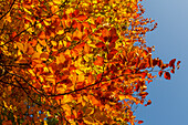 leaves of a European beech tree, Lat. Fagus sylvatica, in Autumn, indian summer, Pullach im Isartal, south of Munich, Upper Bavaria, Bavaria, Germany, Europe