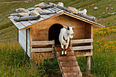 Goat in front of a small stable, mountain refuge in the Schliersee mountains, Bavarian Alps, Upper Bavaria, Bavaria, Germany, Europe