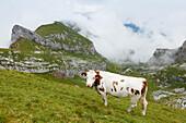 Cow on an alpine pasture, Sagzahn and vorderes Sonnwendjoch, Rofan mountains, district Schwaz, Tyrol, Austria, Europe