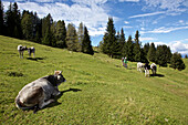 two mountainbikers driving over a cow pasture, Trentino, Italy