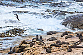Great black-backed gull and fur seals at Shag Point, Palmerston, East coast of South Island, New Zealand