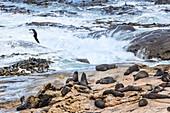 Mantelmöwe und Seebären, Shag Point, bei Palmerston, Ostküste der Südinsel von Neuseeland