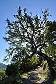 Old cork oak with bizare branches leasing over a path, Serrania de Ronda, Andalusia, Spain