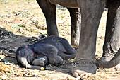 Newborn elephant baby in Elephantstay bei Ayutthaya, Thailand