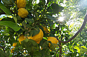 Lemon tree near the Baths of Aphrodite west of Latchi, Akamas peninsula, Paphos distict, Cyprus
