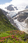 Blossoming alpine roses, behind them the Trift Glacier and the summit of Triftstoeckli, Bernese Alps, canton of Bern, Switzerland