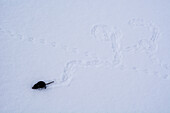 A dead shrew in the snow with its last tracks, Lepontine Alps, canton of Ticino, Switzerland