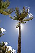 Palm tree at beach, Dominica, Lesser Antilles, Caribbean
