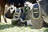 Cattle with cow bells, Viehscheid, Allgau, Bavaria, Germany