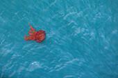 Red jellyfish, Iquique, Tarapaca, Chile