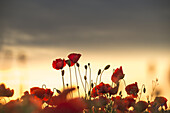 Poppies against the light before sunset on a field in Munich Langwied, Munich, Bavaria, Germany