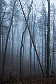 Foggy forest, Berg, Upper Bavaria, Germany
