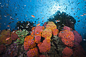 Reef of Orange Cup Corals, Tubastrea coccinea, Triton Bay, West Papua, Indonesia