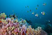 Longfin Bannerfish over Soft Coral Reef, Heniochus acuminatus, Triton Bay, West Papua, Indonesia