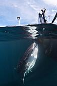 Fisherman feeds Whale Shark, Rhincodon typus, Triton Bay, West Papua, Indonesia