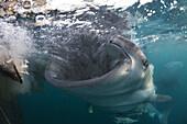 Feeding Whale Shark, Rhincodon typus, Triton Bay, West Papua, Indonesia