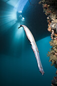 Trumpetfish under a Jetty, Aulostomus chinensis, Ambon, Moluccas, Indonesia