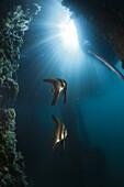 Golden Batfish under a Jetty, Platax boersii, Ambon, Moluccas, Indonesia