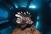 Lionfish under a Jetty, Pterois volitans, Ambon, Moluccas, Indonesia