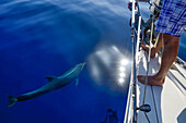 A bottlenose dolphin (Tursiops truncatus) swimming next to a sailing yacht, a man is observing the dolphin, Mallorca, Balearic Islands, Spain, Europe