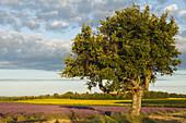 holm oak, lat. Quercus rotundifolia, tree and sunflower field, sunflowers, lavender field, lavender, high plateau of Valensole, Plateau de Valensole, near Valensole, Alpes-de-Haute-Provence, Provence, France, Europe
