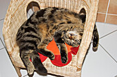 cat sleeping on chair, domestic cat, male, Germany