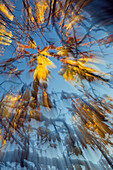 abstract autumntree, Horse Chestnut Tree, Aesculus hippocastanum, Germany