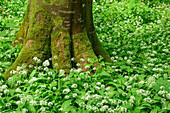Wild garlic in blossom in forest, Allium ursinum, Upper Bavaria, Bavaria, Germany