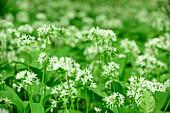 Wild garlic in blossom, Allium ursinum, Upper Bavaria, Bavaria, Germany
