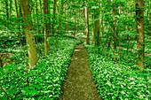 Path leading through wild garlic in blossom in forest, Allium ursinum, Upper Bavaria, Bavaria, Germany