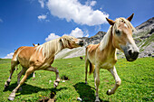 Horses in fast movement on alpine meadow, Lechtal Alps, Tyrol, Austria