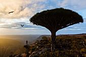 Dragons' blood trees growing in rural desert landscape, Dixam Plateau, Socotra, Yemen