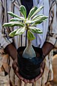 Man holding potted tropical plant, Hadibo, Socotra, Yemen