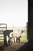 Sheep watching mixed race girl petting lamb in barn, Nampa, Idaho, USA