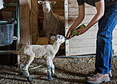 Mixed race boy feeding lamb on farm, Nampa, Idaho, USA