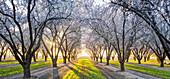 Flowering trees growing along rural road, Kettleman City, California, USA