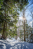 Trees growing in snowy forest, Charlevoix, mi, usa
