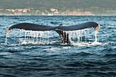 Whale lifting its tail out of water, Riviera Nayarit, Nayarit, Mexico