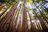 Low angle view of trees in sunny forest, Muir Woods, California, United States