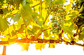 Close up of grapes growing on vine in vineyard, Walla Walla, WA, USA