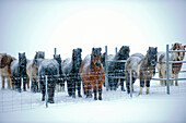Horses standing in snowy pen, C1