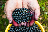 Close up of stained hands holding blueberries over bowl, Ykaterinburg, Ural, Russia