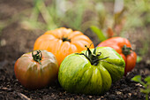Colorful heirloom tomatoes in soil outdoors, Miami Beach, Florida, United States
