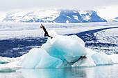 Caucasian surfer jumping into glacial water, Jokulsarlon, Iceland, Iceland
