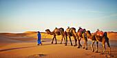 Guide leading camels on sand dune in desert landscape, Sahara Desert, Morocco, Morocco