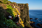 Puffins on rocky cliffs over seascape, Breidavik, Iceland, Iceland