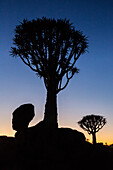 Silhouette of quiver tree against sunrise sky, Keetmanshoop, Karas, Namibia