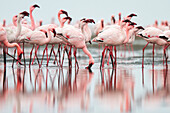Flock of flamingoes standing in still water on beach, Walvis Bay, Erongo, Namibia
